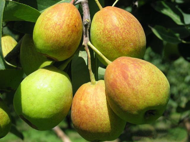 蒲城红香酥梨