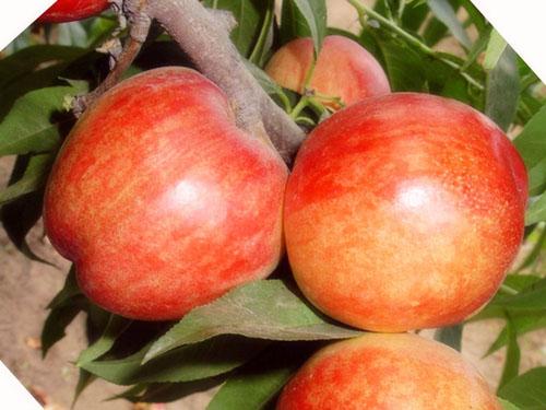 蒲城油桃市场